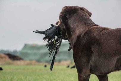 Jagdhund für das Apportieren von Krähen bei der Krähenjagd