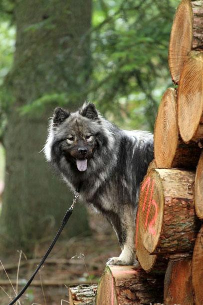 Grauer Hund auf Holzstapel, Waldspaziergang mit Abenteuern