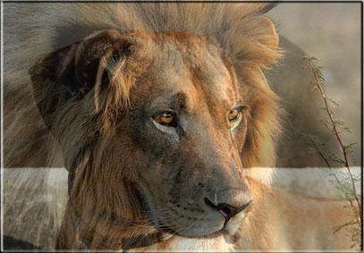 Chumo der Löwenhund