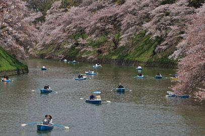 Hanami ... alles im Zeichen der Kirschblüten (Tokyo)