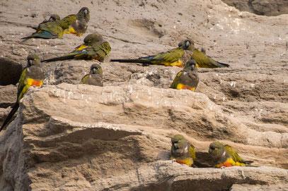 El Condor ... hier lebt die weltgrösste Papageienkolonie in den Felsen am Atlantik