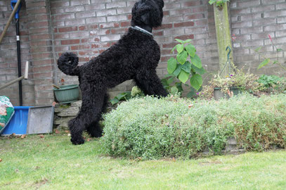 Zwarte Russische Terriers  from Lukaya's Dream -  Black Russian terrier from Lukaya's dream  - Schwarzer Russischer terrier from Lukaya's dream  -  Phila