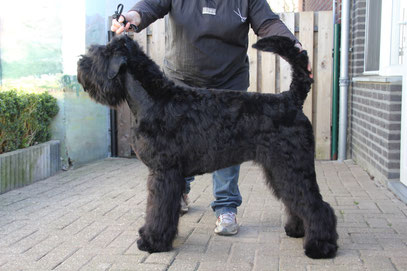Zwarte Russische Terriers  from Lukaya's Dream -  Black Russian terrier from Lukaya's dream  - Schwarzer Russischer terrier from Lukaya's dream