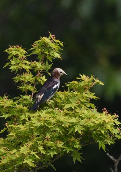 ●ムクドリの灰色に比べて、全体が黒っぽく青みがかっていますね。