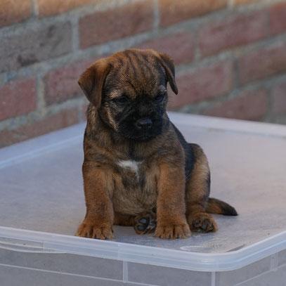 Border Terrier Welpe Kiwi