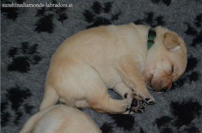 Labrador Retriever Rüde