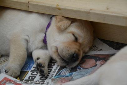 Labrador Retriever Hündin Violett