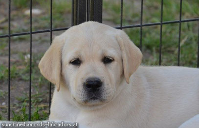 Labrador Retriever Welpe