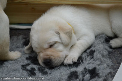 Labrador Retriever Welpe Hündin Gelb