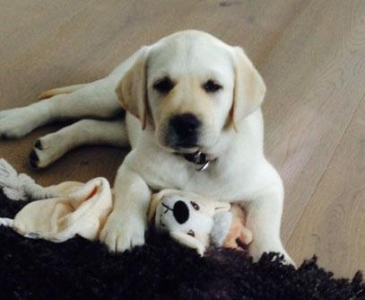 """Labrador Retriever Welpe: Sunshine Diamonds All My Pleasure """"Nala"""" mit 8 Wochen. Danke Christopher für das süße Bild"""