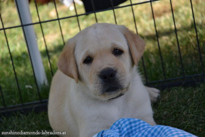 Labrador Retriever Zucht