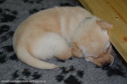 Labrador Retriever Welpe Rüde