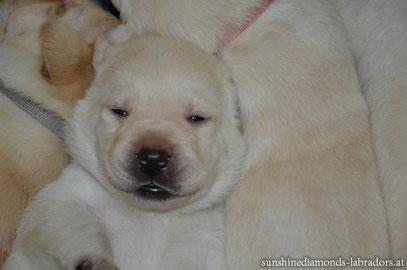 Labrador Retriever Rüde Light Blue