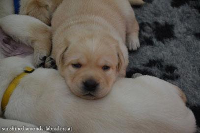 Labrador Retriever Rüde Grün