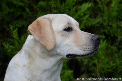 Labrado Retriever Welpe