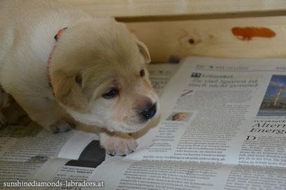 Labrador Retriever Welpe Hündin Orange