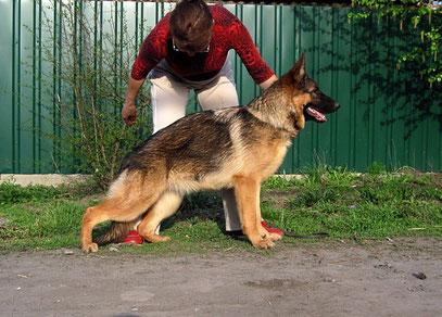 Россия Штольц Фатерланд,7 мес(Кевин Нико-Тьюб-Германика фон Нордэн)