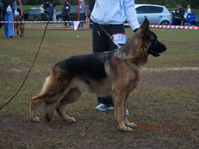 Кинг фон Гулльвиг(Цони фон Хаус Герштенберг-Рута)-2 место из 2-х собак в промежуточном классе