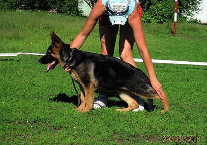 Отто Штольц Фатерланд,4.5 мес(Вакс Хаус Хасси-Германика фон Нордэн),29.05.11.