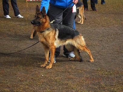 """Kumi v.d.Berhofer-Heide-""""отлично"""" без места в кл.юниоров из 5 собак"""