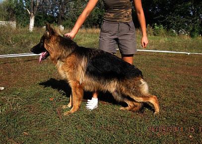 Орикс Штольц Фатерланд(Вакс Хаус Хасси-Германика фон Нордэн),8 мес,сентябрь 2011