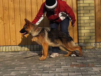 """Россия Штольц Фатерланд-9""""большая перспектива"""" из 24 собак в классе щенков-сук"""