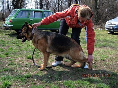 """Интрис Флорентина(Ярант фон Нордэн+Интри Остлих Аусваль)-5-е """"отлично"""" из 7 собак в открытом классе"""