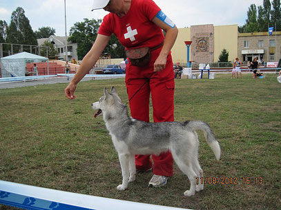 Сибирская хаски-Живая Легенда(Хася)-моя подопечная по хэндлингу.