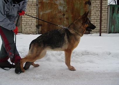 Россия Штольц Фатерланд,1г4м(дочь Германики фон Нордэн)