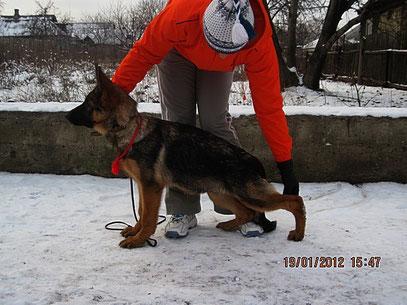 Россия Штольц Фатерланд, 4 мес( Кевин Нико-Тьюб-Германика фон Нордэн)