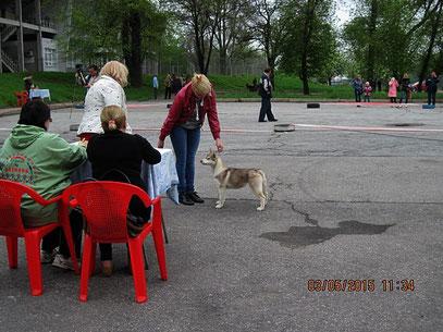 Сибирская хаски Баунти- вице-победительница бэста бэби