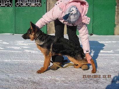 Рейх Штольц Фатерланд, 4.5 мес ( Кевин Нико-Тьюб-Германика фон Нордэн)