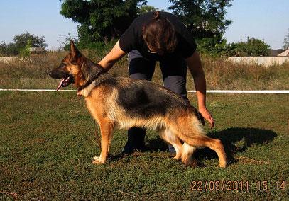 """Зигерин фон Нордэн(Ярант фон Нордэн-Шанта фон Нордэн)-2""""отлично"""" в кл.юниоров сук из 5 собак в ринге"""