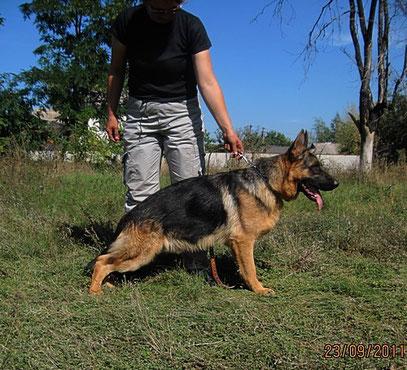 Квен фон Фокс Берг(Knuto v.d.Barenschlucht-Бакси фон Фокс Берг)-Лучший щенок