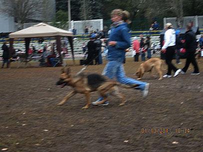 """Феррари фон Айнфаль(Висбаден фон Нордэн-Ярость фон Нордэн)-САС в кл.юниоров,1""""отлично"""" из 5 собак в ринге"""