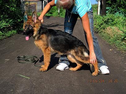 Омиль Штольц Фатерланд,4.5 мес(Вакс Хаус Хасси-Германика фон Нордэн)