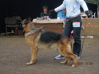 King vom Gullwig(Zoni v.Haus Gerstenberg-Рута)-2 место в промежуточном классе из 2 собак в ринге