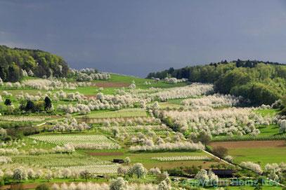 Kirschblüte in Obereggenen Markgrräflerland