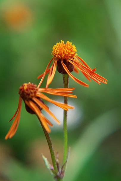 コウリンカ (紅輪花)  この色が好きです。数は少ない