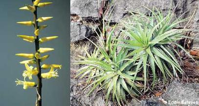 Encholirium eddie-estevesii am Typstandort / type locality / localidade do tipo