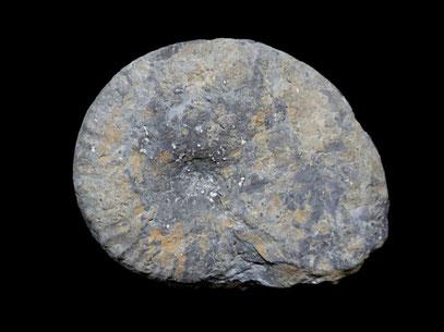 Taramelliceras hauffianum