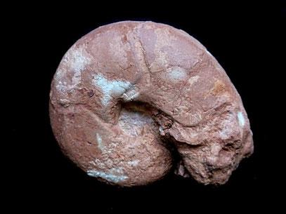 Sowerbyceras tortisulcatum