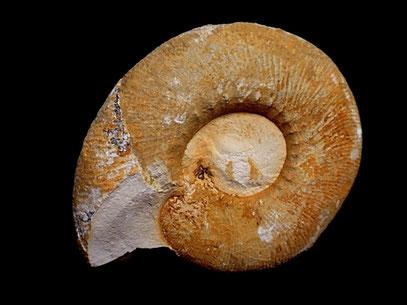 Olcostephanus densicostatus