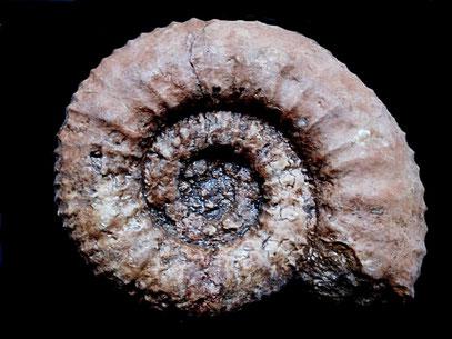 Protacanthodiscus coronatus
