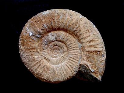Perisphinctes sp