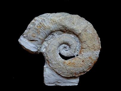 Crioceratites nolani