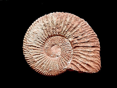 Berriasella callisto