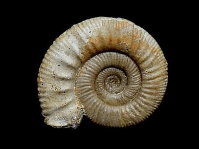 Hamulisphinctes hamulatus