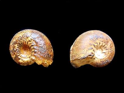 Olcostephanus hispanicus