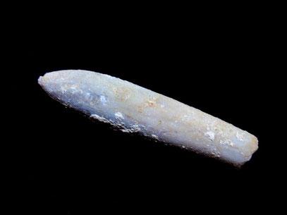 Hibolites hastatus